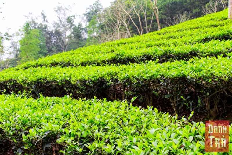 Các luống trà dọc theo triền đồi.