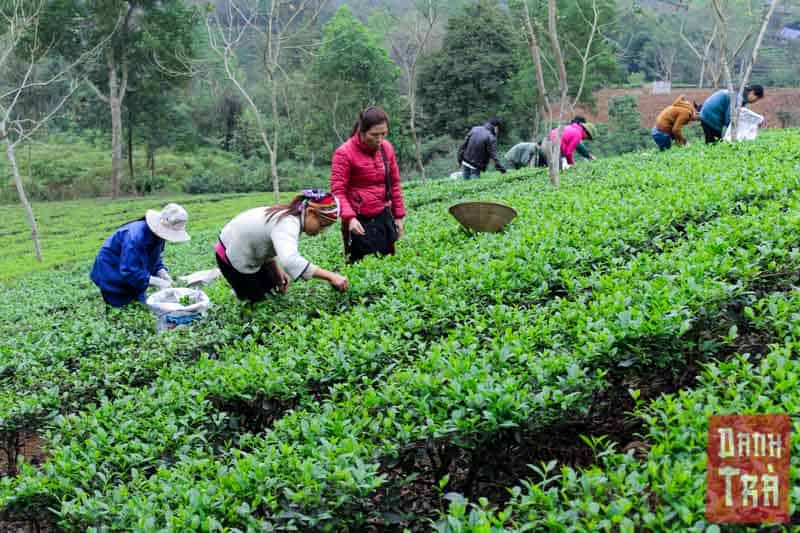Công nhân đang thu hái trà hoàn toàn bằng tay. Khác với những nông trường trà lớn, chúng tôi không sử dụng máy móc trong việc thu hái mà dùng hoàn toàn sức người. Việc này giúp vườn trà khôg bị tổn thương và phát triển một cách tự nhiên nhất.