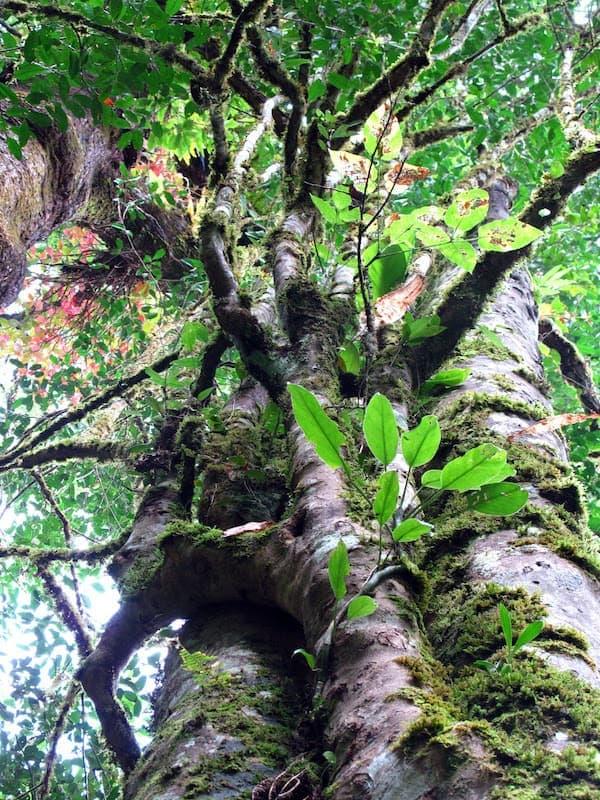 Nấm và rêu mọc trên cây trà cổ thụ. Ảnh: teaurchin