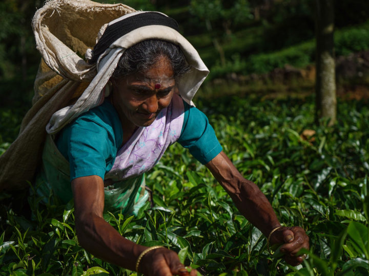 Sri Lanka: cái nôi của trà Ceylon