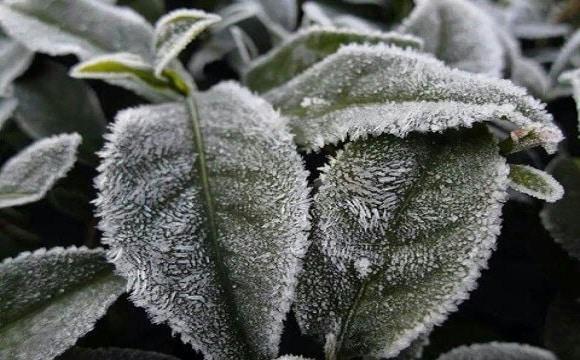 trà ô long mùa đông