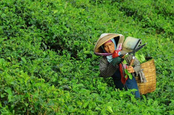 vườn trà, cây trà, người hái trà, trà thái nguyên, trà ô long, chè thái nguyên