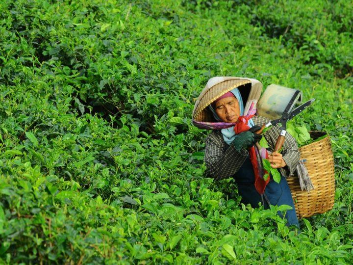 Biến đổi khí hậu đang đe doạ cây trà – nhưng giải pháp đã xuất hiện