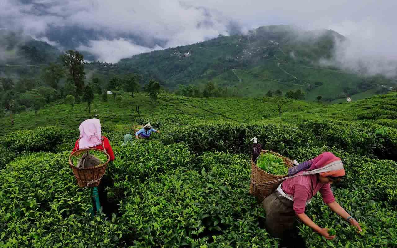 Hồng Trà: 5 điều bạn cần biết về hồng trà (trà đen) 6