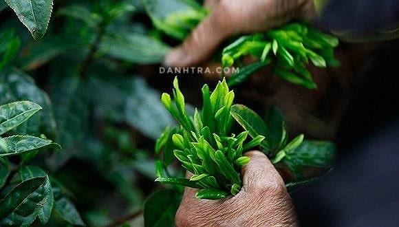 Trà Thái Nguyên ở Cần Thơ: mua trà Thái Nguyên chính gốc tận vườn 2