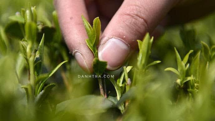 Trà Thái Nguyên: tìm hiểu và mua trà ngon chính gốc tận vườn 5