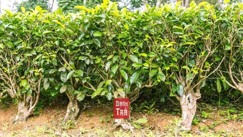 Cốm - Trà Nõn Đinh Thượng Hạng (100g) 3
